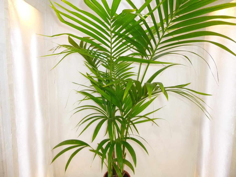 kentia palme forsteriana erdpflanze f r semi. Black Bedroom Furniture Sets. Home Design Ideas